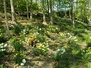 Binney Park hillside daffodils